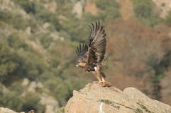 Golden eagle deploys its wings to take off with prey Stock Image