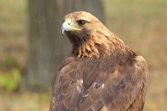Golden eagle Royalty Free Stock Photos