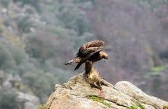 Golden eagle devouring a badger Stock Photos