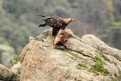A golden eagle devouring a badger Stock Photography