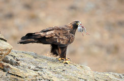 Golden eagle with a dove perches on his rock Royalty Free Stock Photo