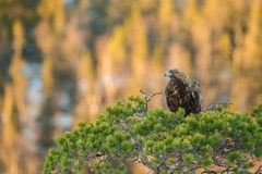 Golden eagle at dusk. A golden eagle sits patiently in a pine tree awaiting his turn to feed Stock Image