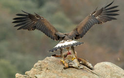 Golden eagle eating a fox on the rocks Royalty Free Stock Photos
