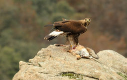 Golden eagle eats a fox Stock Image