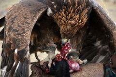 Golden eagle (erne, Aquilla Chrisaetos), eating after a successful hunt, Kyrgyzstan Royalty Free Stock Photography