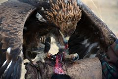 Golden eagle (erne, Aquilla Chrisaetos), eating after a successful hunt, Kyrgyzstan Royalty Free Stock Photo