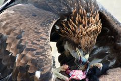 Golden eagle (erne, Aquilla Chrisaetos), eating after a successful hunt, Kyrgyzstan Stock Photo