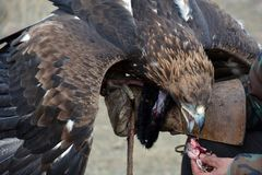 Golden eagle (erne, Aquilla Chrisaetos), eating after a successful hunt, Kyrgyzstan Royalty Free Stock Image