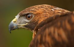 Golden Eagle Eye with Wing Royalty Free Stock Photography