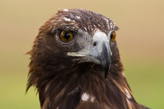 Golden Eagle face Stock Images