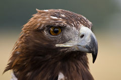 Golden Eagle face Royalty Free Stock Photos