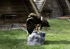Eagle real falconry. Golden eagle in falconry, captive animals, birds prey hawk milvus kite wild nature real beak predator raptor fly feather owl portrait hunter stock photo
