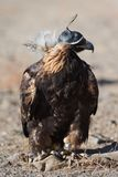 Golden eagle falconry. Golden eagle ia the bird educated for a falconry. It is a popular hunting style for a Mongolian Altai region royalty free stock photo