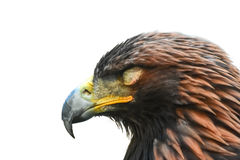 Golden eagle falls asleep. isolated on white background.  Royalty Free Stock Images