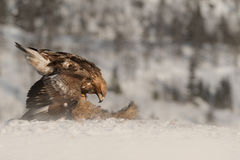 Golden Eagle feeding. Royalty Free Stock Image