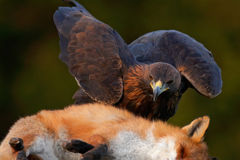 Golden Eagle, feeding on kill Red Fox in the forest, action feeding scene, attack in the forest, orange fur coat food, detail port. Sweden Stock Image