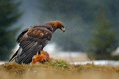 Golden Eagle feeding on kill Red Fox in the forest during rain and snowfall. Bird behaviour in the nature. Behaviour scene with. Brown bird of prey, eagle with royalty free stock photography