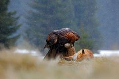 Golden Eagle, feeding on kill Red Fox, tail in the bill, in the forest during the rain Stock Images