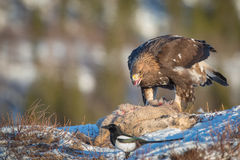 Golden eagle feeding. A golden eagle scavenges from a roe deer carcass, a magpie waits patiently for a chance to grab some meat Royalty Free Stock Photo