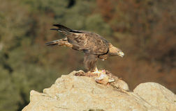 Golden eagle feeds on rock Stock Photography