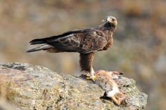 Golden eagle female eats carrion in the field Royalty Free Stock Images