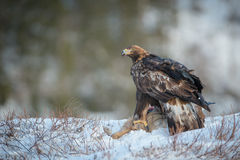 Golden Eagle. A female Golden Eagle feeding on a dead Roe Deer turns to look at the camera Stock Photography
