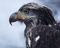 Golden eagle in fierce, regal close up. Powerful golden eagle in the wild along the banks of the Chilkat River in Haines, Alaska. Golden eagle is national bird royalty free stock photo