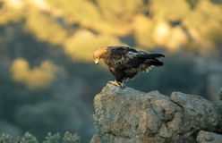 Golden eagle with the first light of day Stock Photography
