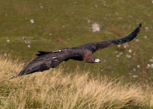 Golden Eagle in flight Stock Image