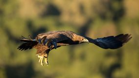 Golden eagle in flight, Andalusia, Spain royalty free stock photography