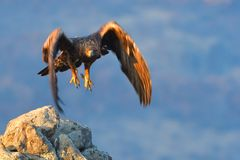 Golden Eagle in Flight Royalty Free Stock Photos