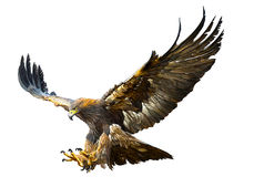 Golden eagle flying swoop hand draw vector. royalty free illustration