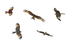 Golden Eagle is flying on white background Stock Images