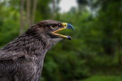 Golden Eagle in forest Stock Photo