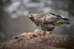 Golden eagle with fox Royalty Free Stock Photo