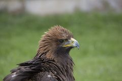Golden eagle portrait. Golden eagle full head portrait feathers puffed up Royalty Free Stock Photography