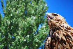 Golden eagle gazing. Into the sky and waiting stock photography