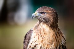 Golden eagle. Closeup sitting on a tree Stock Photos