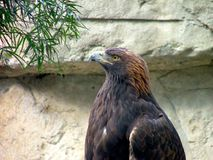Golden Eagle Pride profile. A Golden Eagle strikes a pose for the camera. Even though a captive, and unable to be wild and free, his hope and strength inspire me royalty free stock photography