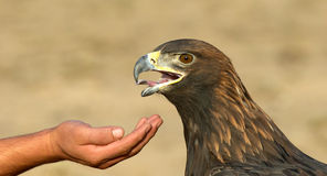 Golden Eagle and hand Royalty Free Stock Image