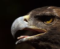 Golden Eagle head. Extreme closeup of Golden Eagle head Royalty Free Stock Image