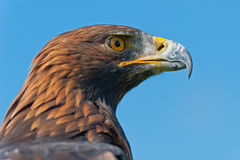 Golden Eagle Head Profile Stock Image