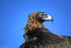 Golden eagle head shot. Taken in colorado Stock Image