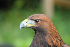 Golden Eagle headshot with a hood on Royalty Free Stock Image