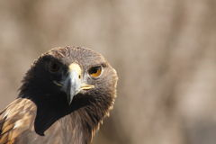Golden Eagle. Headshot with shadow Royalty Free Stock Photo