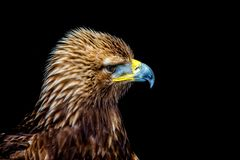 Golden eagle headshot side profile. A close up side shot of a young Golden Eagle Royalty Free Stock Photography