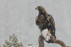 Golden Eagle in Heavy Snow Fall. Royalty Free Stock Photography