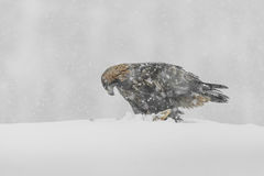 Golden Eagle in Heavy Snow. Royalty Free Stock Photography