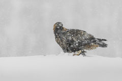 Golden Eagle in Heavy Snow. Stock Photo