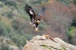 Golden eagle holding the fox with claws Stock Photo